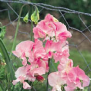 Sweet Pea - Mrs Bernard Jones - 15 seeds